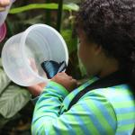 Blue Morpho Butterfly being released