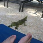 Iguana at the pool (don't worry they are tame)