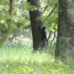 bear cub in tree - from site #27