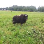 Just one of many musk ox