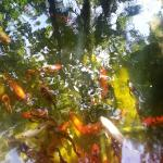 Our koi are happy to welcome you