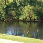 Pond and geese
