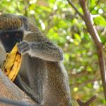 Monkeys are to be seen all over Nevis