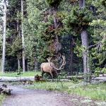 Huge elk on the Yellowstone Lake trail
