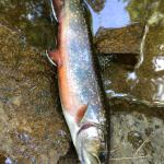 Trout caught in the creek/Jossias River behind the B&B