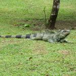 giant iguanas rule the place