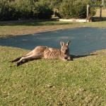Kangaroo at Lakesea