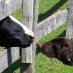 cow and puppy