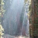 The great Sequoia's