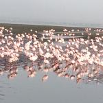 Flamingoes as far as the eye could see.