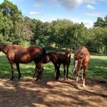 Mares and foals in the nearby pasture at the Eighth Pole Inn