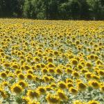 Surrounded by sunflowers ...heaven