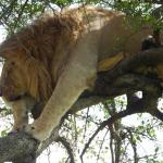 Tree Climbing Lion (In the Mara????)