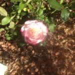 One of the lovely roses in the garden at the Best Western in Alamosa
