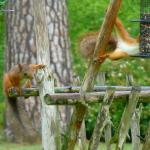 Red squirrels outside the dining room