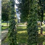 Hops growing in the park by the hotel