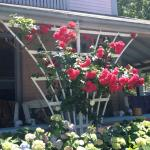 Roses on porch