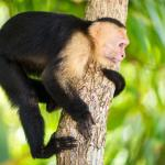 White-faced Capuchin Monkey at Arenas del Mar