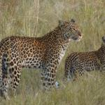 Especially for Albert - the leopard & her cub