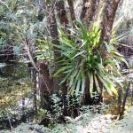 Strap Fern growning on a tree in Six Mile Cypress Slough Preserve