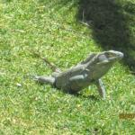 One of several lizards on the grounds/by the pool