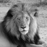 Animal is remarkably good condition, unlike the Kruger park lions who look sickly and Elephants