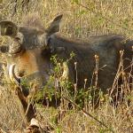 We love the warthogs, that roam Marloth Park!
