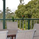 King Parrot on the Deck of Black Bean Lodge Family Accommodation at Ravensbourne Escape