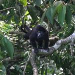 One of the many Howler monkeys we saw