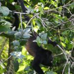 Howler monkey having lunch on a batch of leaves