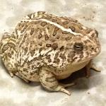 These HUGE toads were outside the bathroom facilities every night to eat insects! So fun to watc