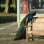 The friendly peacock