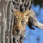 leopard cub climbing in tree
