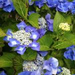 just gorgeous blue hydrangeas all over...