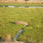 Hippo in front of our room