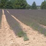 Lavender fields on the way to Roussillion
