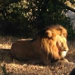 One of the many lions we saw