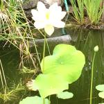 Beautiful flowers in one of the Koi ponds,