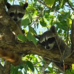 Racoon relatives