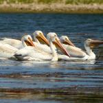 a flock of pelicans in the lake at the hotel