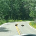 Black bear cubs on the road to the campground.