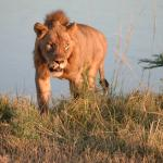 One of the male lions on a game drive