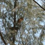 White bellied sea eagle is leaving on the tree near of the beach