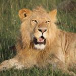 Another amazing lion sighting