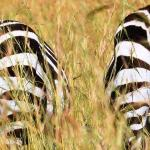 Zebra - Very Busy.