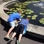 Checking for tadpoles in the water lily garden