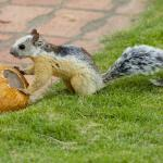 Squirrel eating coconut (pipa).