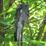 Potoo on mangrove tour with Randall