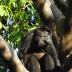 howler monkey and family living among us....