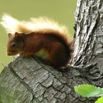 Lots of red squirrels can be seen there
